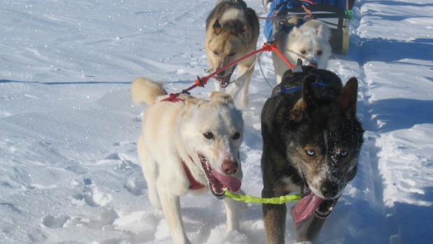 dogsledding åre