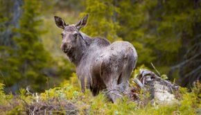 moose_sweden